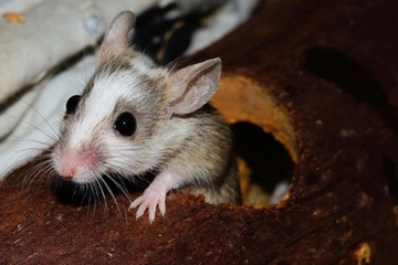Mice and their droppings are a no-no for pizza